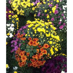 Chrysanthèmes arlequin